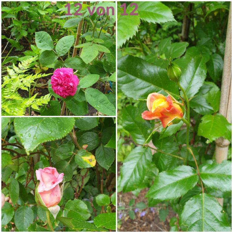 eine Collage mit drei Rosen