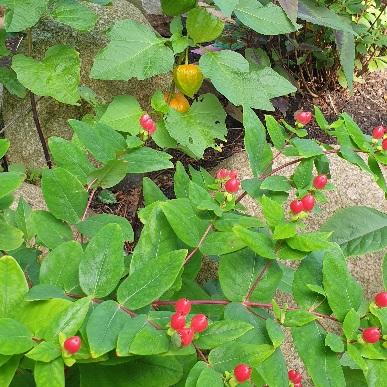 Rote Beeren und orange Lampionblumen